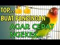 Suara Lovebird Dimulai Ngetik Lanjut Ngekek Bisa Buat Pancingan Agar Cepat Ngekek  Mp3 - Mp4 Download