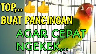 Download Suara Lovebird Dimulai Ngetik Lanjut Ngekek, Bisa Buat Pancingan Agar Cepat Ngekek