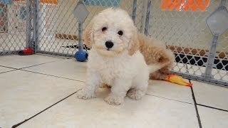 Bichon Poo, Puppies, For, Sale, In, Hartford, Connecticut, County, Ct, Fairfield, Litchfield, Middle
