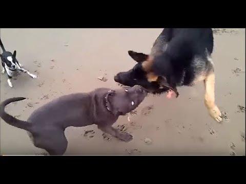 PIT BULL VS GERMAN SHEPHERD (fight) Must See!!! - YouTube