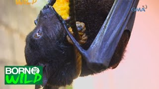 Born to Be Wild: Importance of the Large Flying Fox