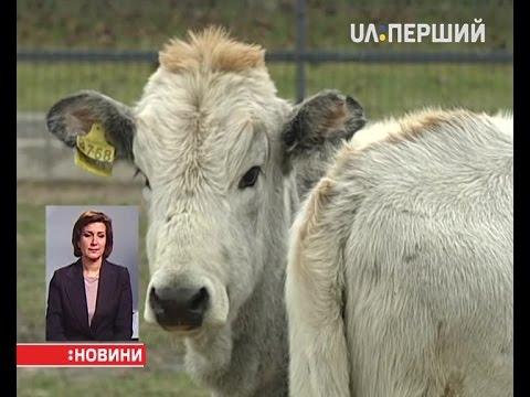 Українська велика біла порода свиней фото