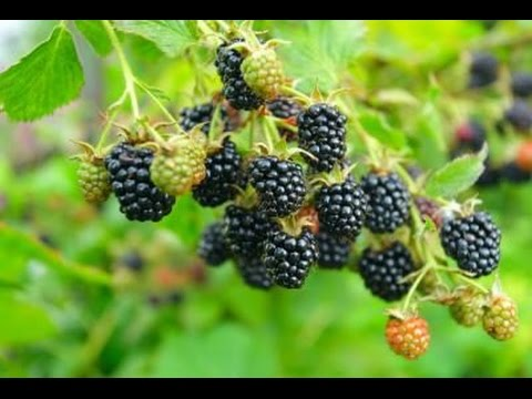 How to Grow Blackberries - Complete Growing Guide