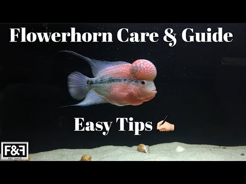 How To :- Care For Your Flowerhorn | Flowerhorn Care & Guide | (In HINDI)