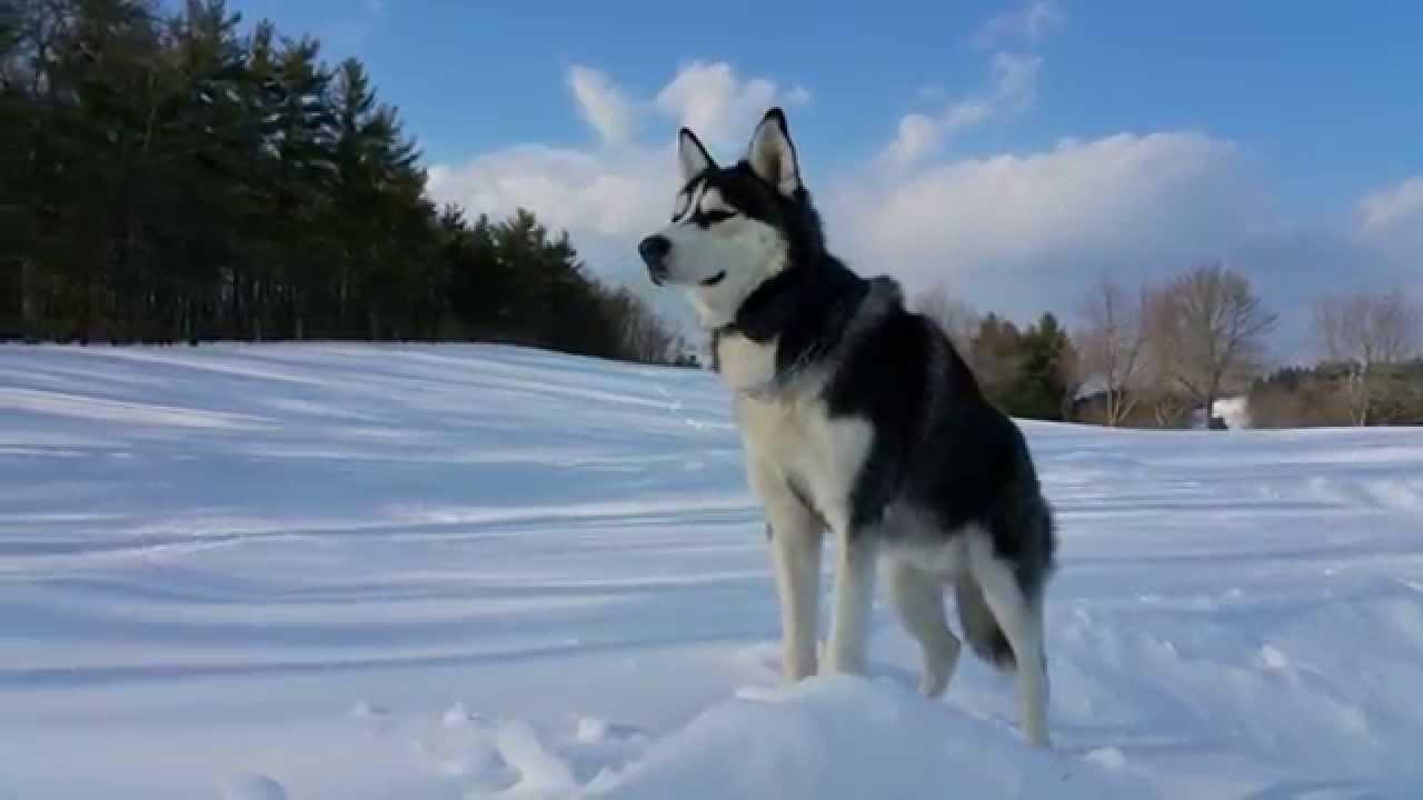 Siberian Husky Amazing 4k Video Samsung Note 4 Youtube