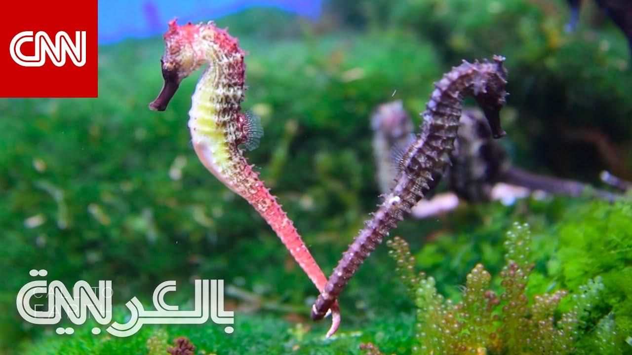 مخلوقات أسطورية غامضة.. شاهد حملة العلماء القوية لحماية كائنات فرس البحر  - نشر قبل 2 ساعة