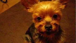 家内が呪いの歌を歌い出すと愛犬が苦しみの歌を歌い出す的な。 録画した...