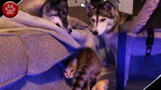 KITTEN PLAYS HIDE & SEEK WITH HUSKIES!