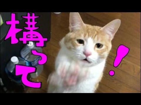�超�愛�】����欲��猫を���ら無視����� I tried ignoring the cat I want to play
