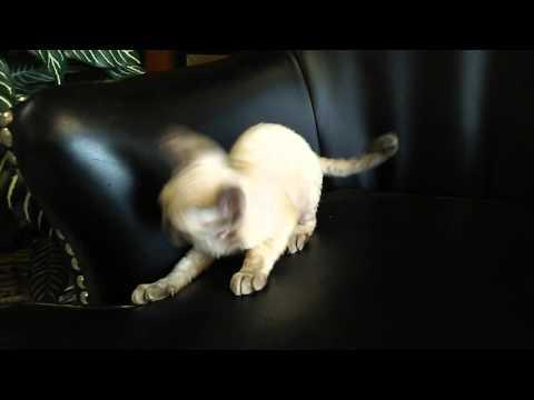 Available lynx point female minskin kitten