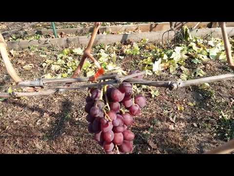 28 октября. Поздние сорта винограда.