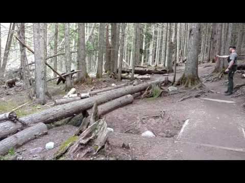 Glacier Park Grizzly Sow And Cubs Bear Encounter With LE Ranger