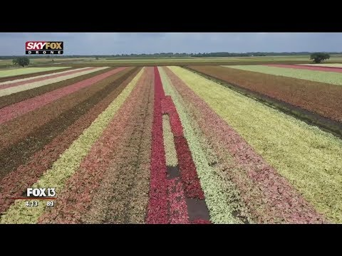Drone's view of Florida's colorful caladium fields