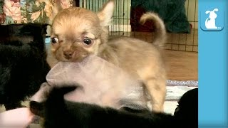Bouncy Chihuahua Puppies Are Pretty Princesses - Puppy Love