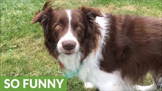 border-collie-answers-owners-questions-by-nodding-head