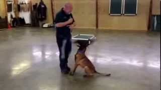 "Malinois Female For Sale ""juju"" Protection Obedience Trained"
