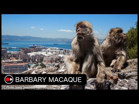 Europe's only Non-human Primate! Barbary macaques in Gibraltar