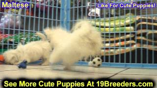 Maltese, Puppies, For, Sale, In, Allegheny, Pennsylvania, Pa, Bucks, Chester, County, Berks, Delawar