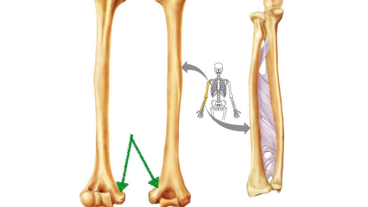Anatomy of the humerus, radius and ulna - YouTube