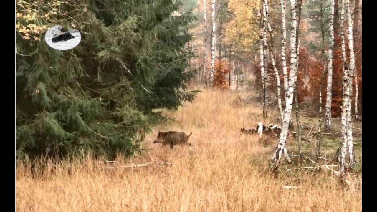 Hunting wild boar and red deer in November 2020. Chasse au sanglier et au cerf élaphe