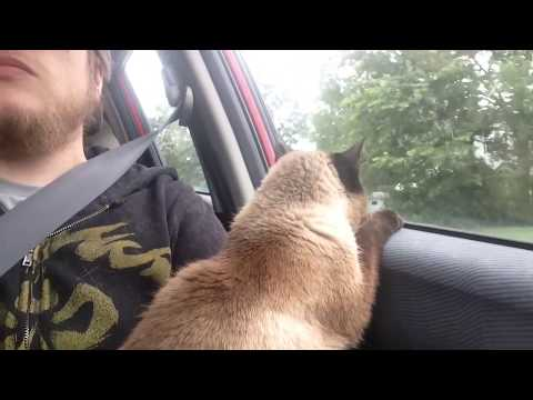 Siamese Cat Loves Car Rides!