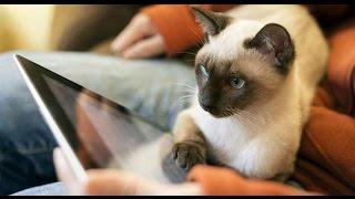 Интересные факты о сиамских кошках