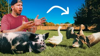 PIG vs. GUARDIAN GEESE (they HATE each other 😭)
