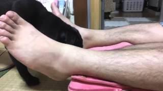 【黒パグ・アポロ】アポvsルルド。 -pug Vs Lourdes massage Cushion-