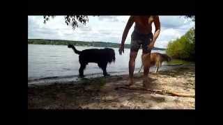 Schwarzer russischer Terrier Bruno im Sommer 2014