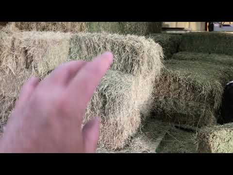 A Little Horse Hay Discussion - Grass Vs Alfalfa - Mokie & Buddy Visit