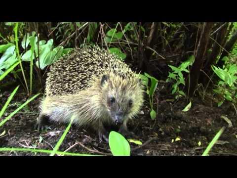 Siili vierailulla - Visit of the hedgehog