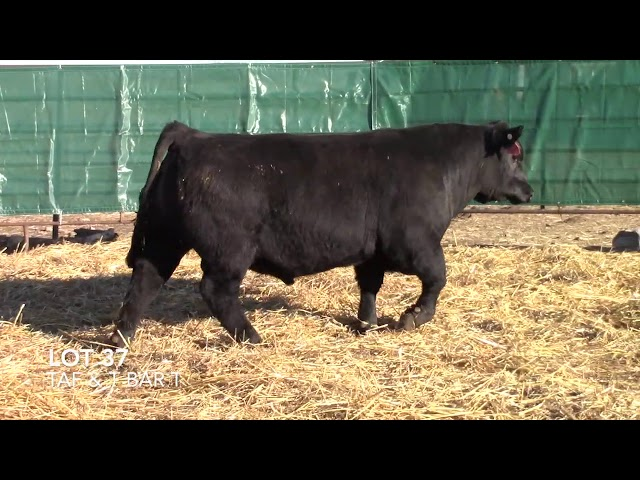 T Bar T and Taliaferro Angus Lot 37