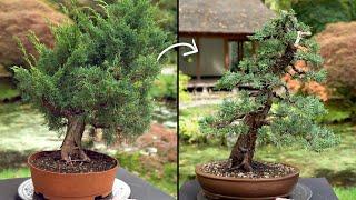 Learn how to cręate a Juniper Bonsai tree