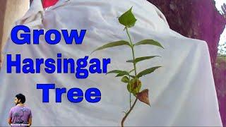 हारसिंगार का पेड़ कैसे लगाए /How to Grow & Care Harsingar / Parijaat -18th July 2017/Mammal Bonsai