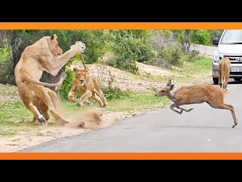 Buck Tries the High-Jump Over Lions