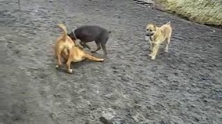 Беспокойный Доберман VS Бордоский дог собачьи игры Бордос это собака с повадками кота