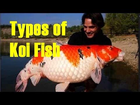 Most Beautiful Types Of Koi  Carp - Koi Fish Varieties