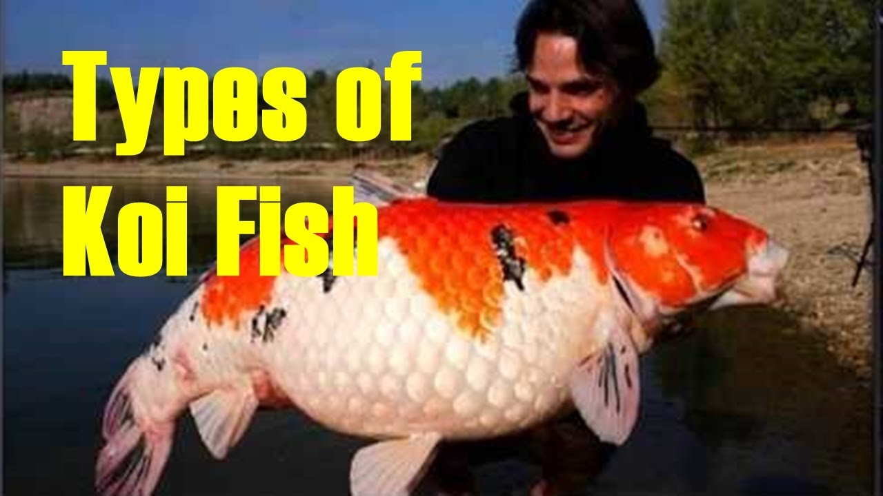 Most beautiful types of koi carp koi fish varieties for Koi carp varieties