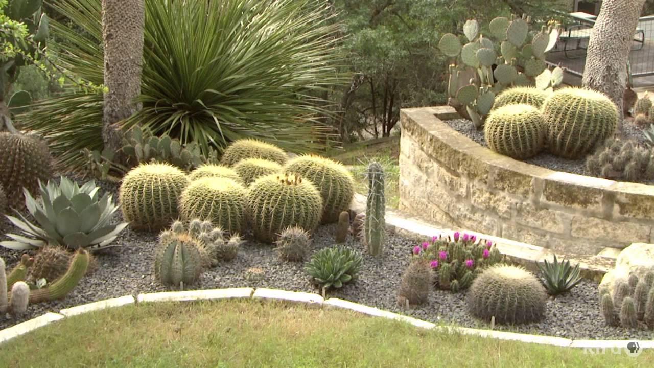 Dasylirions |Daphne Richards |Central Texas Gardener - YouTube