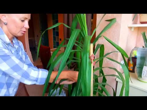 ЮККА/ Мой уход за растением/ ПАЛЬМА или НЕТ?