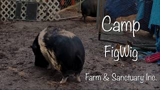 Camp FigWig documentary.  Oh My Pig!