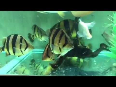 Siamese Tiger Fish For Sale
