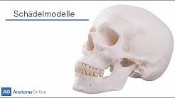 Schädel Kaufen - ein Überblick von Anatomy-Online.com