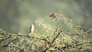 Courtship Display Rosy-Patched Bush-Shrike