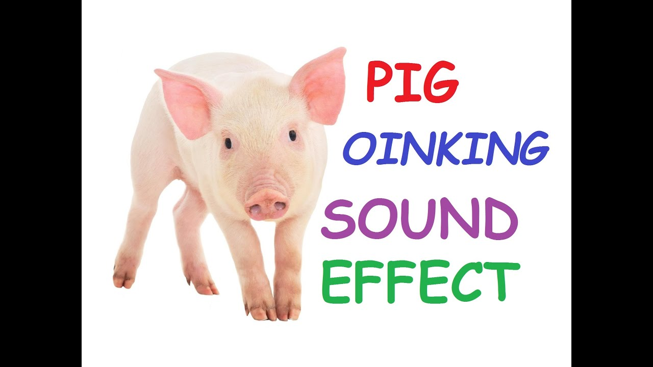 Pig Squeal Snort Oinking Oink Noises Scream Sounds Effect Loudly Wild  Cartoon Video