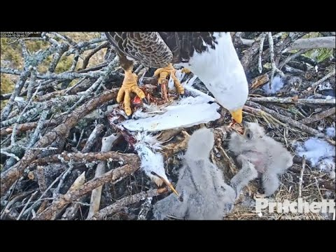 SWFL Eagles ~ M15 Brings Cattle Egret To Nest & Feeds E15 & E16! 4.10.2020