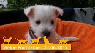 West Highland White Terrier Welpen In Bremen