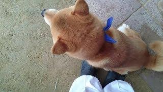 何回離れても足元にくっついてお座りしてくる柴犬 Japanese Shiba Inu sitting closer to my feet even if i am away from him. thumbnail