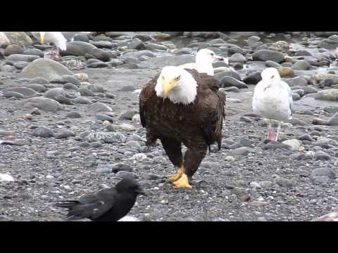 Bald Eagle Walking