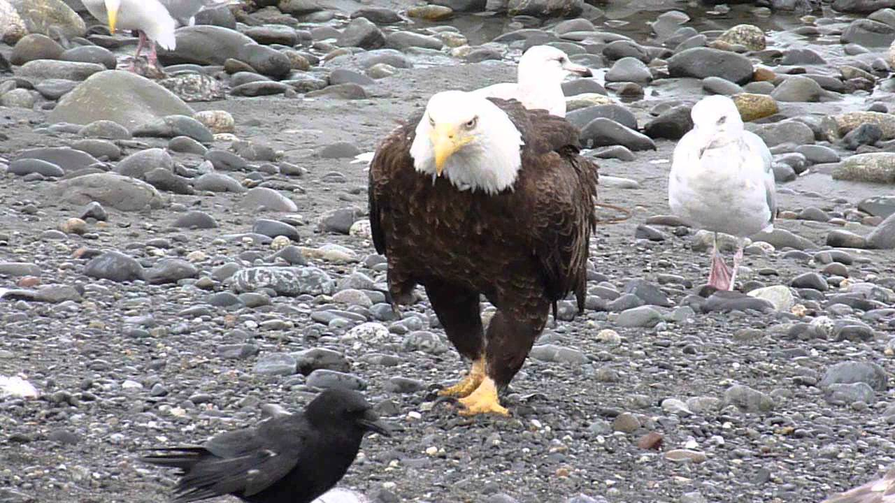 Bald Eagle Walking Youtube